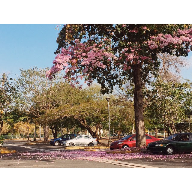 Photograph of flowering trees in Puerto Rico